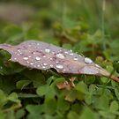 Leaf of Drops by Alex Colcheedas
