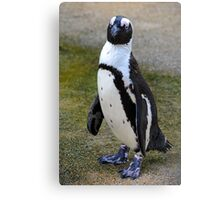 African Penguin (endangered) - Singapore Canvas Print