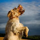 Orange & White Italian Spinone Dogs in Action II by heidiannemorris