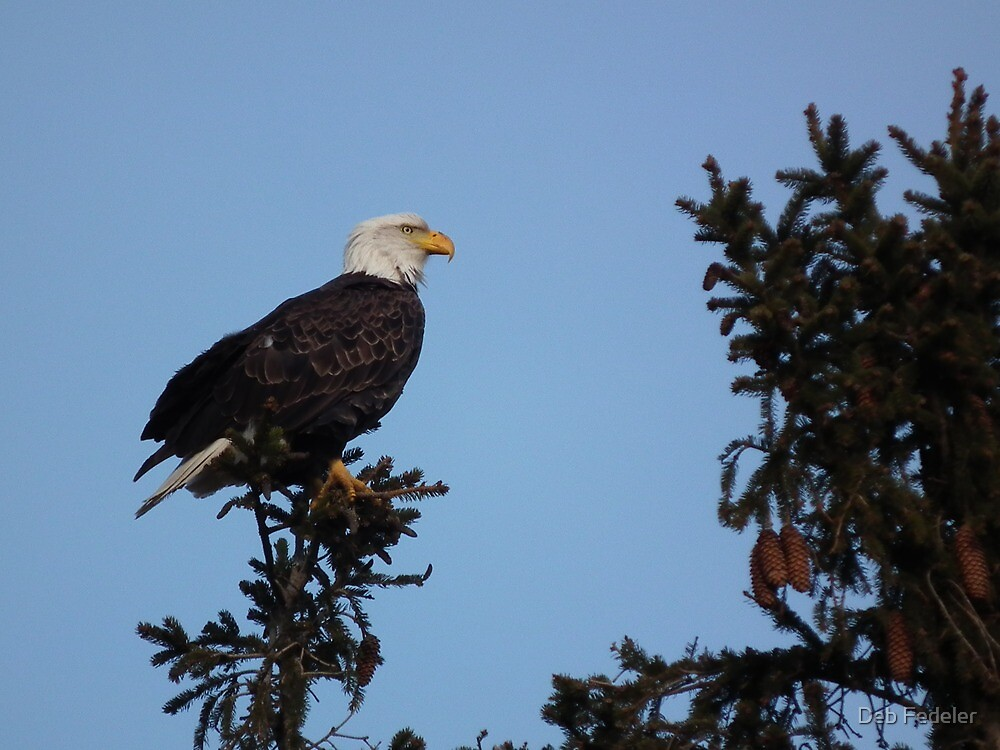 Bald Eagle on Top of Pine by Deb Fedeler
