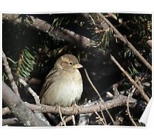 Chipping Sparrow in Branches Poster