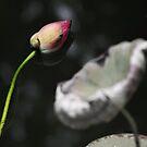 Fallen Lotus by BengLim
