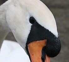 Portrait of a swan by fotorobs