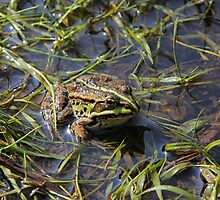 Frog in river by fotorobs