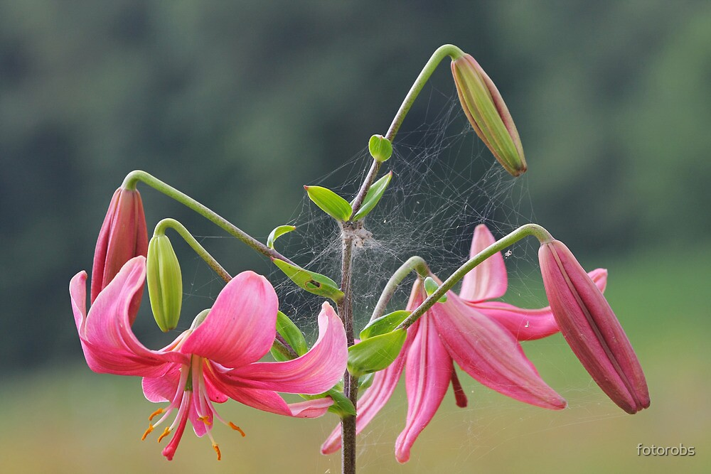 Pink lilly by fotorobs