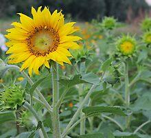 Sunflowers by fotorobs