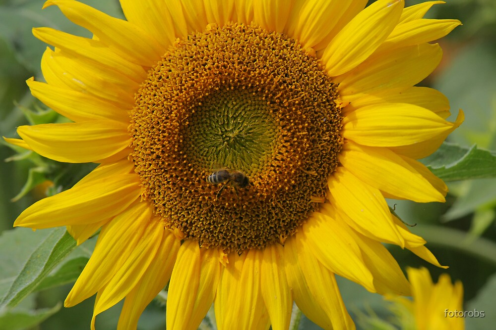 Sunflower by fotorobs