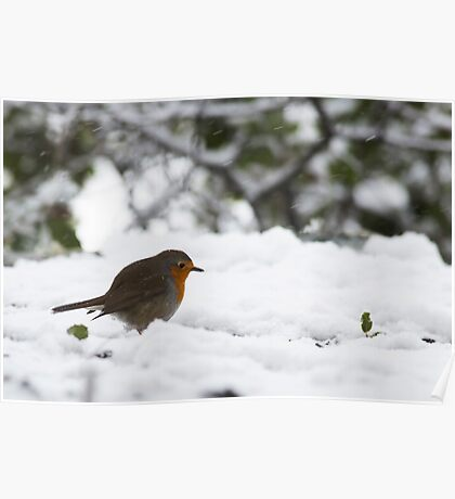 European Robin (Erithacus rubecula) in the snow,  Poster