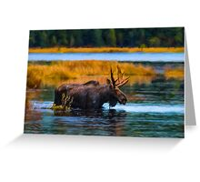 Algonquin Park Moose Greeting Card