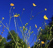 Buttercup Blue by Dottie11