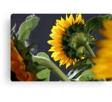 Sunflower in studio 5 Canvas Print