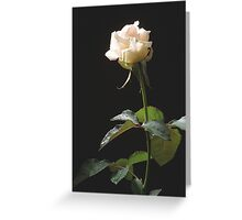 Cream-color rose on the dark background Greeting Card