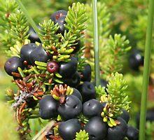 Jenever berries (Jajem) ingredient by patjila