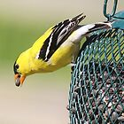 goldfinch on feeder by SusieG