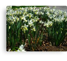 Daffodil party Canvas Print