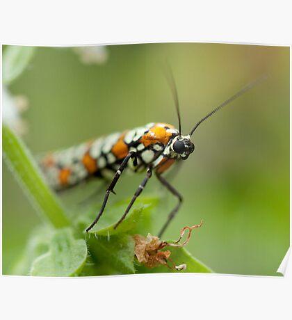 Moth on Basil Flowers Poster
