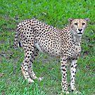 Cheetah at The Singapore Zoo. (2) by Ralph de Zilva