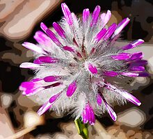 Pom Pom (Ptilotus manglesii) or Rose-tipped Mulla Mulla by Colin White