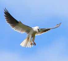 Hovering  - Black-shouldered Kite by Georgina Steytler