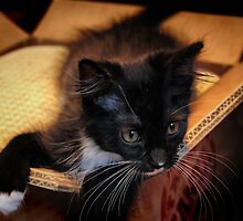 Kitten in a Box (Ready to Wrap) by Barbara  Brown