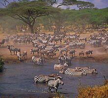 Serengeti Chaos by Georgina Steytler