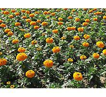 Carpet of Marigolds Photographic Print