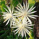Cactus Flowers by Eeva47