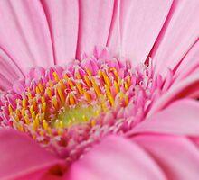 Pink Gerbera II by Mihaela Limberea