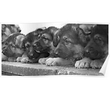 The Litter- German Shepherd Puppies. Poster