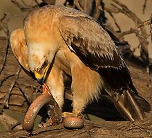 Tawny Eagle Skinning a Cape Cobra by Rashid Latiff