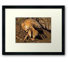 Tawny Eagle Skinning a Cape Cobra Framed Print