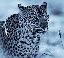 Leopard Cyanotype by Rashid Latiff