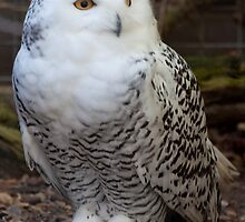 Awesome Snowy Owl