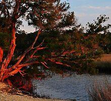 Cedar Tree  by joevoz