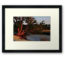 Cedar Tree  Framed Print