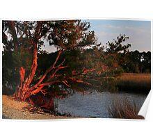 Cedar Tree  Poster