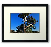 Cedar Tree On Coast Framed Print