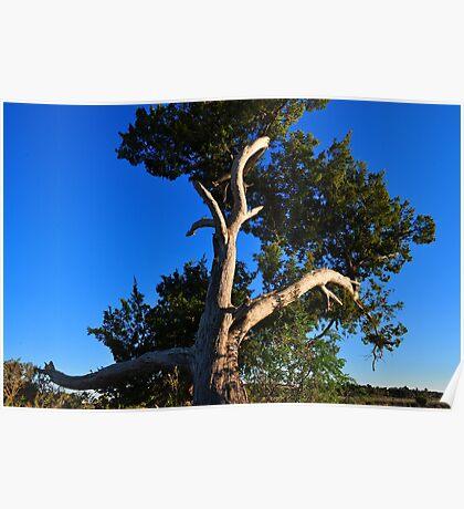 Cedar Tree On Coast Poster