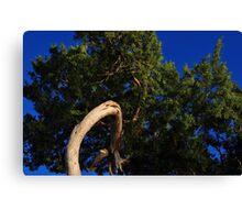 Cedar Tree Close Up Canvas Print