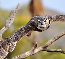 Great Horned Owl in Flight by levipie