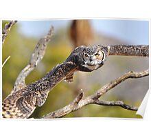 Great Horned Owl in Flight Poster