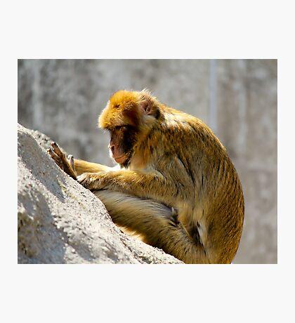 Barbary Ape Photographic Print