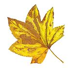 Vine Maple Leaf by Judy Newcomb