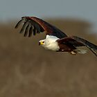 African Fish Eagle by Rashid Latiff