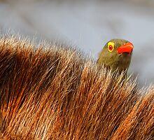 Peek-a-boo by Rashid Latiff