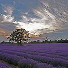Lavender Evening by howardcar