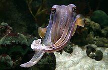 Cuttlefish insouciance by Chris Allen
