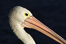 Pelican at Lakes Entrance by Darren Stones