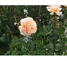 A Lovely Pale Apricot Rose Garden. Photographic Print
