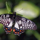 Beautiful Butterfly by yolanda
